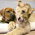 a dog and a lion cub