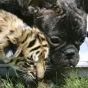 tiger cub and a dog