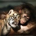 orangutan and tiger cub