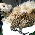 a dog with tiger cubs
