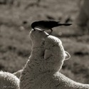 bird cleaning sheep's nose