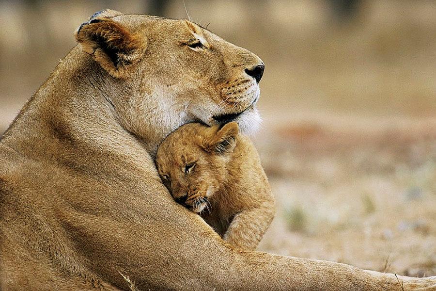 Фотографии львов и маленьких львят