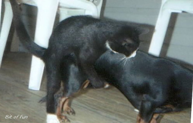 cat mounting a dog