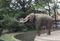 Elephant With Good Aim